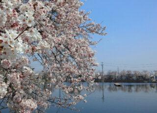 【春の見どころ】 住吉神社境内の宮池の桜